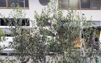 ルッカの木