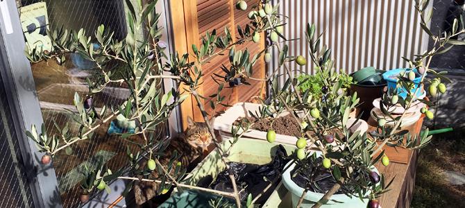 今年(2017)のわが家のオリーブ収穫のまとめ