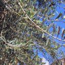 ナポリのオリーブの木