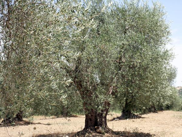 マイアーティカオリーブの木