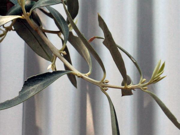 チプレッシーノの花芽