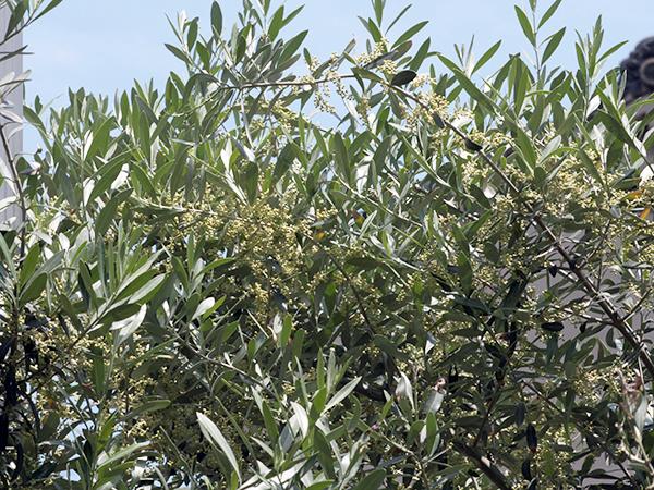 オリーブ_チプレッシーノの花芽