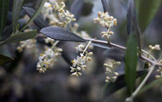 オリーブの花_ペンドリーノ