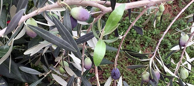 オリーブの病害虫 ー オリーブの実が色づいて来ました(2018)