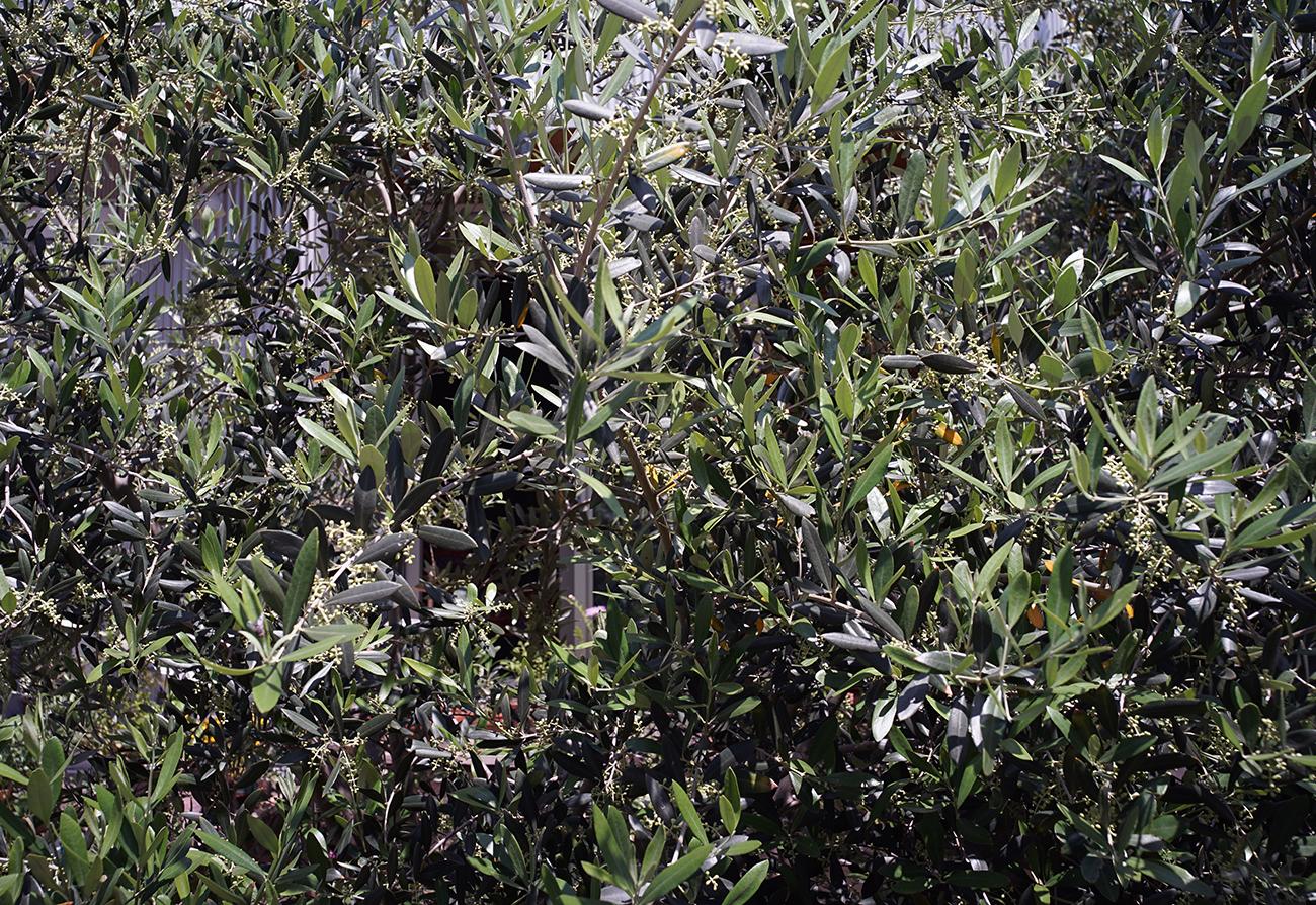 ルッカオリーブの花芽