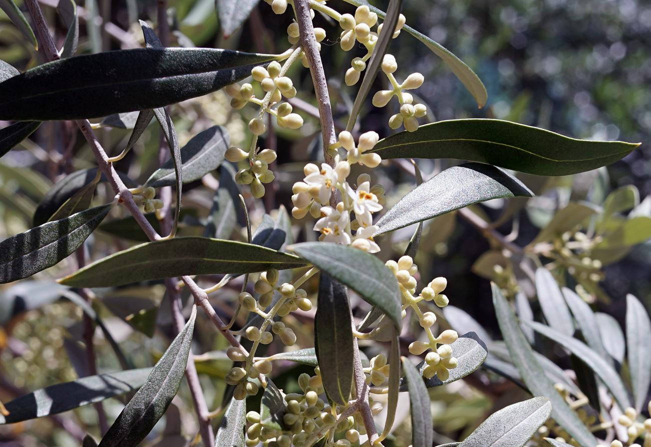 オリーブ ペンドリーノの花